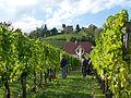 Kintzheim-Vendanges manuelles au pied du château.jpg