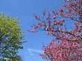 Kirschblüte 1620.jpg