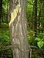 Kmen stromu.jpg