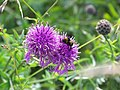 Knapweed with bee - geograph.org.uk - 884083.jpg