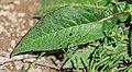 Knautia dipsacifolia at Lac de Tavaneuse (2).jpg