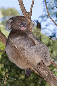 Koala - Wikipedia, the free encyclopedia