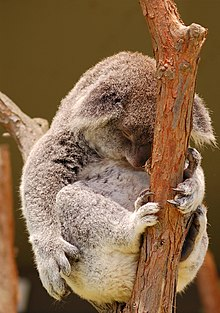 Koala sleeping-edit.jpg