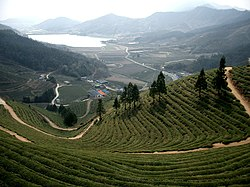 Green tea field in Boseong