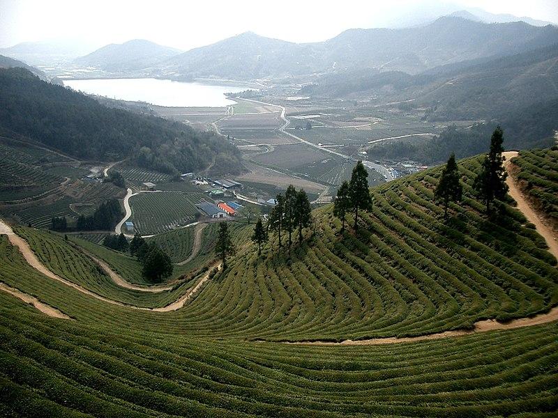 File:Korea-Boseong-Green.tea-02.jpg
