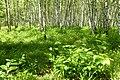 Korina 2014-06-06 Prunus serotina 3.jpg