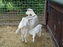 Gulabi Goat Wikipedia - More info