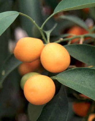 Kumquat - Malayan kumquat foliage and fruit