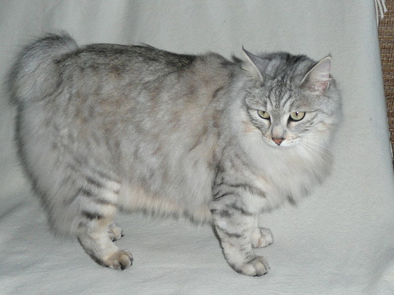 The rarest breed of cats in the world