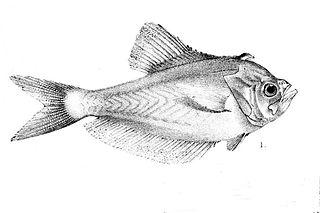 Nurseryfish genus of fishes