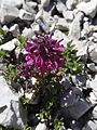 Läusekraut - Sextener Dolomiten (9801424126).jpg