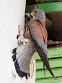 LLesser kestrel chicks and their parent.jpg