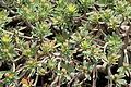 La Palma - Garafía - Vía Puerto de Garafía + Euphorbia balsamifera 09 ies.jpg