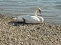 Labud na sotskom jezeru - panoramio.jpg