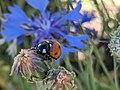 Ladybug on Sibillini Mountains 06.jpg