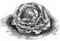 Laitue gotte lente à monter Vilmorin-Andrieux 1883.png