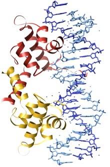 a204a0879 Lambda represor, druh proteínu viažúceho sa na DNA. Jeho DNA-väzobná doména  je typu helix-otočka-helix.