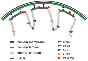 Topologically associating domain - LADs (dark gray lines) and proteins that interact with them. Lamina is indicated by green curve.