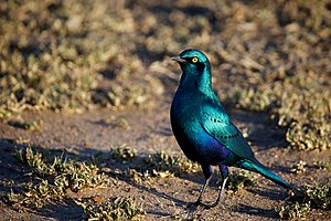 Greater blue-eared starling - Adult in South Africa