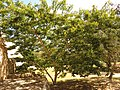 Lancepod Tree (16000666013).jpg