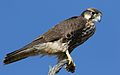 Lanner falcon, Falco biarmicus, at Kgalagadi Transfrontier Park, Northern Cape, South Africa (34415574732).jpg