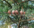 Larix laricina (Tamarack) - foliage & cones.jpg