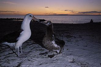 Laysan albatross - Laysan albatross with chick on Midway