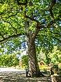 Le chêne multicentenaire du par de Schoppenwihr.jpg
