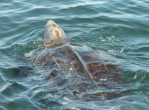 English: Leatherback sea turtle with head abov...