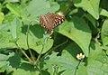 Lemon Pansy butterfly (Junonia lemonias) at Andhra University.jpg