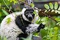 Lemur (24168928918).jpg