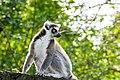 Lemur (37140404472).jpg