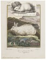 Lepus cuniculus - 1700-1880 - Print - Iconographia Zoologica - Special Collections University of Amsterdam - UBA01 IZ20600239.tif