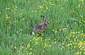 Lepus europaeus feeding.jpg