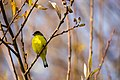 Lesser goldfinch (31573711991).jpg