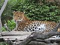 Levhart jávský v Zoo Praha 004.jpg