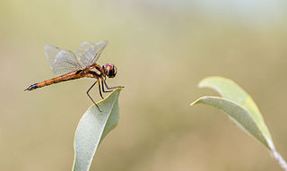 <i>Tramea</i> genus of insects