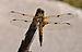 Libellula quadrimaculata qtl1.jpg