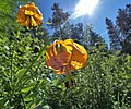Lilium columbianum near Squilchuck State Park Chelan County Washington.jpg