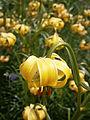 Lilium pyrenaicum 02.jpg