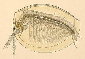 Limnadia lenticularis