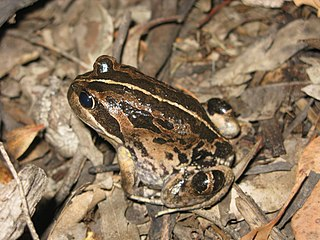 <i>Limnodynastes dorsalis</i> species of amphibian