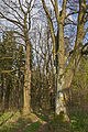 Lindenallee in Weitra 2014-04 NÖ-Naturdenkmal GD-115.jpg