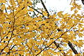 Lindera triloba yellow leaves.jpg