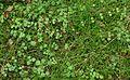 Linnaea kz1.jpg