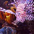 Lionfish 2014-06-23 22-01.jpg