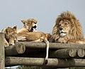 Lions (5017738071).jpg