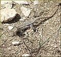 Lizard, Joshua Tree NP 4-13-13b (8660202903).jpg