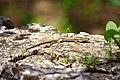 Lizard, la Bambouseraie au parc national des Cévennes.jpg