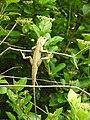 Lizard from Madayipara DSCN2646.jpg